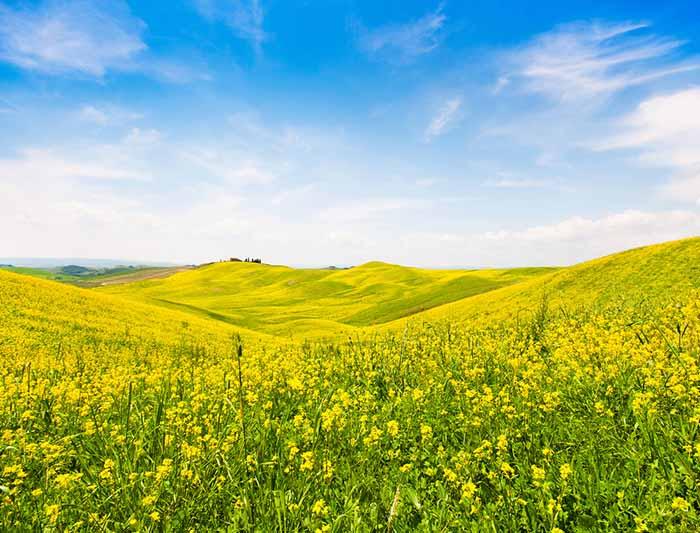 加拿大食品也不安全,油菜籽被检出危险性有害生物