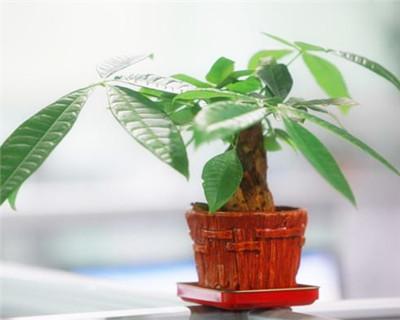 小发财树的种植和摆放