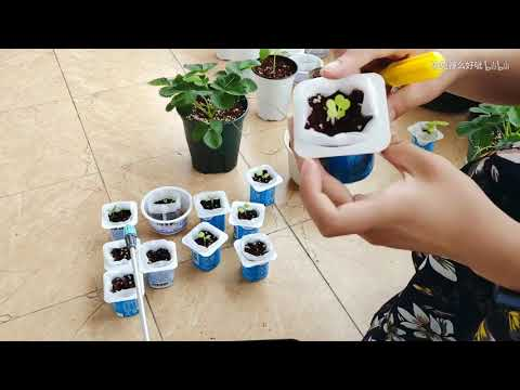 用酸奶杯育苗种蔬菜