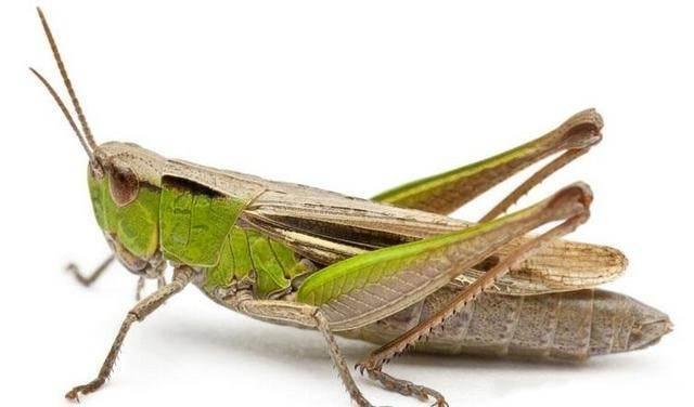 肆虐全球的蝗虫变成了餐桌上的美食