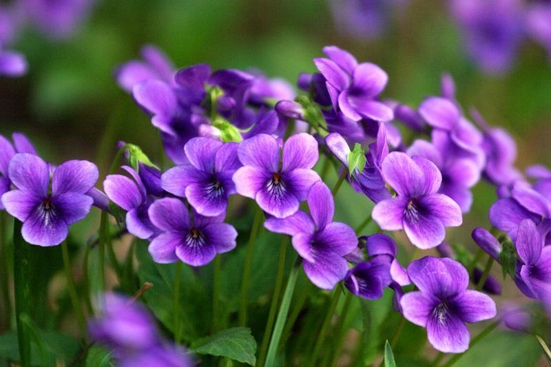 房前屋后 - 早开堇花,紫花地丁