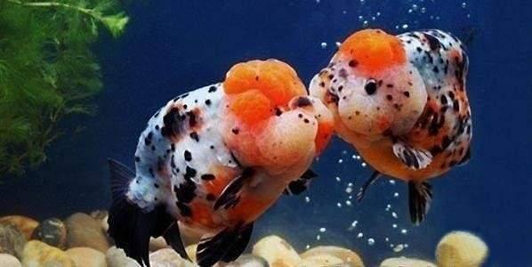 如何养金鱼