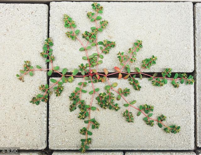 房前屋后 - 地锦草