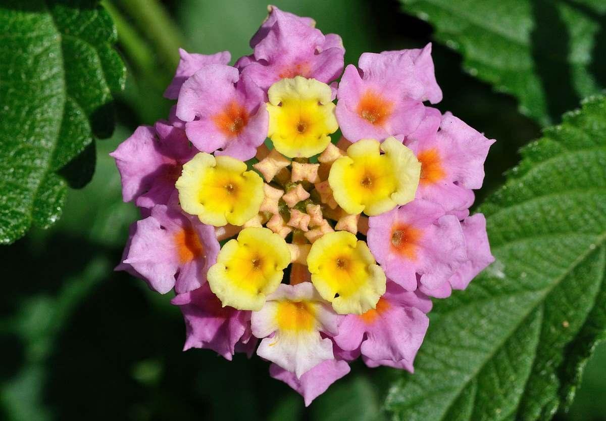 室内养花禁忌 3 – 有毒性的花卉(二)